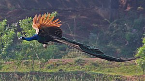 Fisherian runaway - The peacock tail in flight, the classic example of an ornament assumed to be a Fisherian runaway