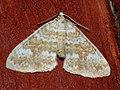 Perizoma flavofasciata - Sandy rivulet - Ларенция марьянниковая (26084893127).jpg