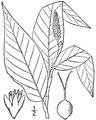 Persicaria amphibia L. Michx. Water smartweed.tiff
