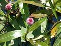 Persicaria amphibia flowers (Attikamek Trail) 1.JPG
