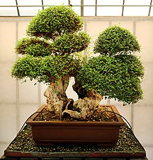 Bonsai Wikipedia
