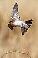 Petrochelidon ariel -Karratha, Pilbara, Western Australia, Australia -flying-8 (1).jpg