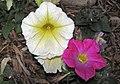 Petunia sp. (New Brighton, Minnesota, USA) 3 (28335513796).jpg