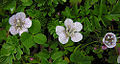 Phacelia platycarpa (9358345247).jpg