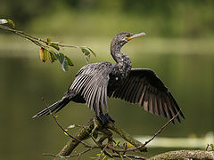 Phalacrocorax brasilianus (Costa Rica).jpg