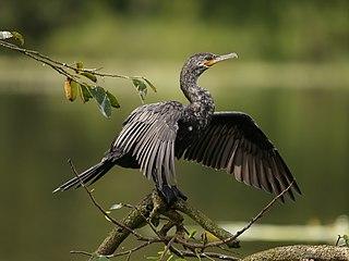 Neotropic cormorant species of bird