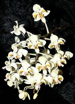 phalaenopsis celebensis wikispecies. Black Bedroom Furniture Sets. Home Design Ideas