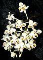 Phalaenopsis celebensis Orchi 130.jpg