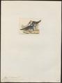 Phaps picata - 1820-1860 - Print - Iconographia Zoologica - Special Collections University of Amsterdam - UBA01 IZ15600279.tif
