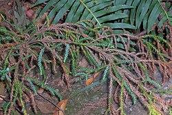 Pherosphaera fitzgeraldii Mt Tomah.jpg