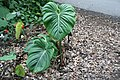 Philodendron McDowell 1zz.jpg