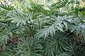 Philodendron bipinnatifidum kz1.JPG