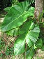 Philodendron giganteum03.jpg