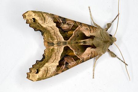 Phlogophora meticulosa, Lodz(Poland)03(js).jpg