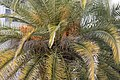 Phoenix canariensis, Adana 2020-02-15 01.jpg