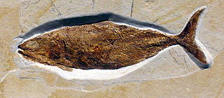 <i>Pholidophorus</i> genus of fishes (fossil)