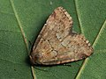 Photedes minima - Small dotted buff - Совка луговиковая (39322206130).jpg