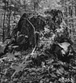 Photograph of White Pine Stump - NARA - 2129139.jpg