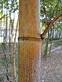 Phyllostachys heterocycla 'Tao Kiang'1.jpg