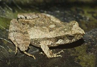 <i>Physalaemus ephippifer</i> Species of frog