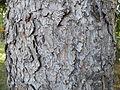 Picea abies (1111) 07.JPG