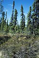 Picea mariana USFWS.jpg