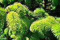 Picea sitchensis springfoliage.jpg