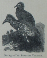 Picture Natural History - No 137 - The Egyptian Vulture.png