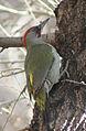 Picus viridis sharpei 039.jpg