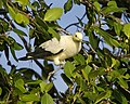 Pied Imperial Pigeon, Ducula bicolor bicolor - Flickr - Lip Kee (3).jpg