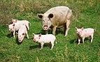 Pigs in the Altai Mountains. Village Ortolyk.jpg