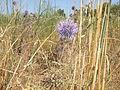 PikiWiki Israel 14350 Plants of Israel.JPG