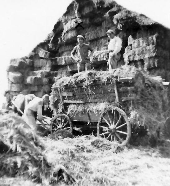 גן-שמואל-הובלת קש 1938