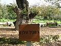 PikiWiki Israel 7358 oak tree in tivon.JPG