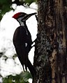 Pileated Woodpecker (4341808005).jpg