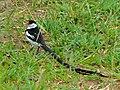 Pin-tailed Whydah (Vidua macroura) (7080625739).jpg