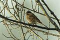 Pine Bunting - Magredi Vivaro - Italy 0028 (22763923654).jpg