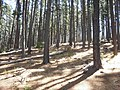 Pine Plantations at Newlands Forest - Cape Town 5.JPG