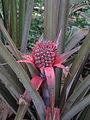 Pineapple Unripened From Panathati.jpg