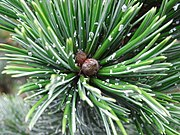Pinus Aristata resin flecks.jpg