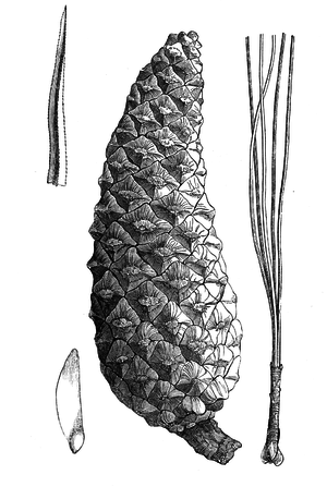 Pinus douglasiana - Image: Pinus gordoniana illustration