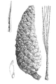 Pinus gordoniana illustration.png