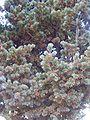 Pinus parviflora leaves.JPG