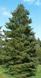 Pinus peuce Habitus BotGardBln0906
