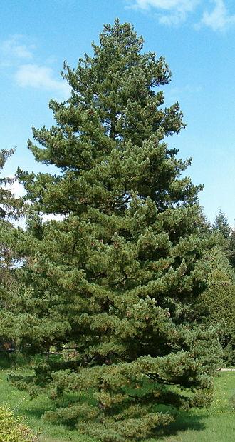 Pinus peuce - Image: Pinus peuce Habitus Bot Gard Bln 0906