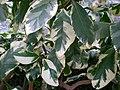 Pisonia umbellifera variegata.jpg