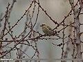 Plain Mountain Finch (Leucosticte nemoricola) (34325271121).jpg