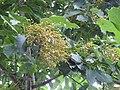 Plant Ehretia acuminata DSCN8670 04.jpg
