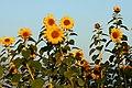 Plethora of Sunflowers (2896849172).jpg