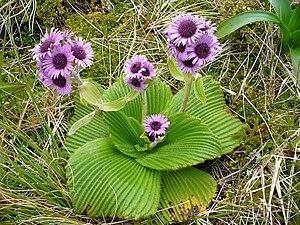 Pleurophyllum speciosum - Image: Pleurophyllum speciosum (1)